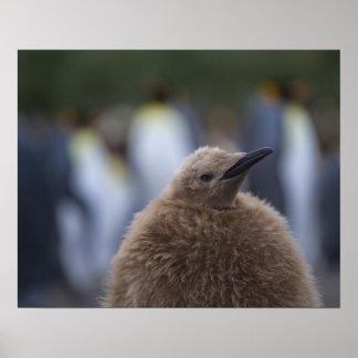King Penguin (Aptenodytes patagonicus) chick, Poster