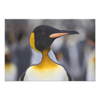 King Penguin Aptenodytes patagonicus Gold Photo