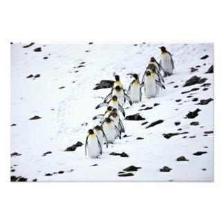 King Penguin Aptenodytes patagonicus group Photographic Print