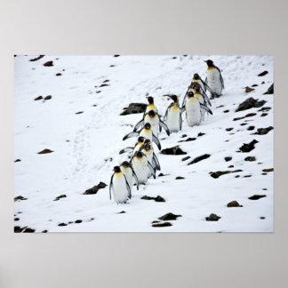 King Penguin Aptenodytes patagonicus) group Poster