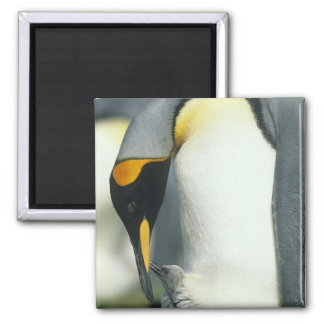 King Penguin, (Aptenodytes patagonicus), Refrigerator Magnets