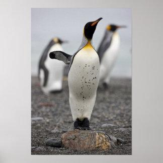 King Penguin Aptenodytes patagonicus) on Poster