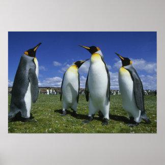 King Penguin, Aptenodytes patagonicus), Poster