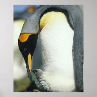 King Penguin, (Aptenodytes patagonicus), Poster