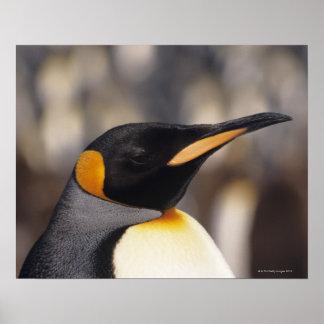 King penguin (Aptenodytes patagonicus) Poster