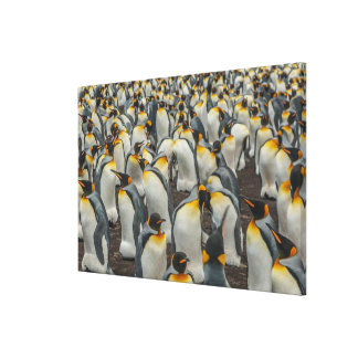King penguin colony, Falklands Canvas Print