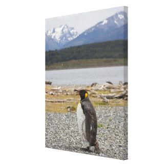 King Penguin, Isla Martillo, Tierra Del Fuego Canvas Print