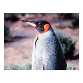King Penguin on Heard Island Postcard