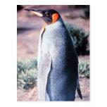King Penguin on Heard Island Postcards
