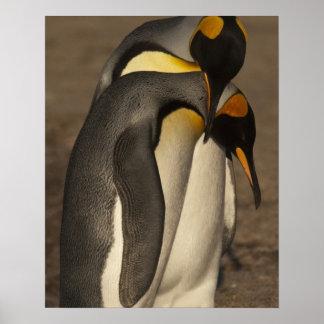 King Penguins (Aptenodytes p. patagonica) Poster