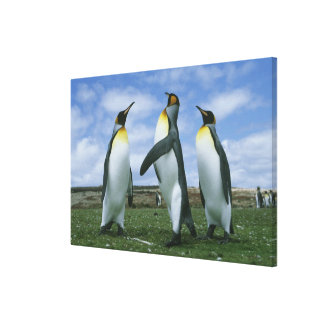 King Penguins, Aptenodytes patagonicus), Gallery Wrapped Canvas