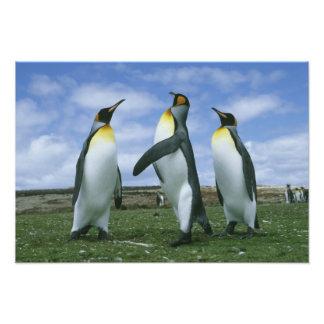 King Penguins Aptenodytes patagonicus Photo