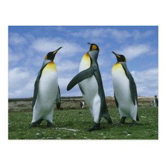 King Penguins, Aptenodytes patagonicus), Postcard