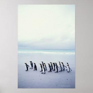 King penguins (Aptenodytes patagonicus) Poster