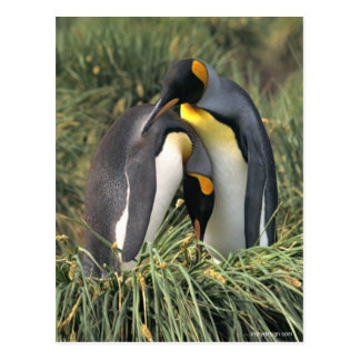 King penguins Lovers Post Cards