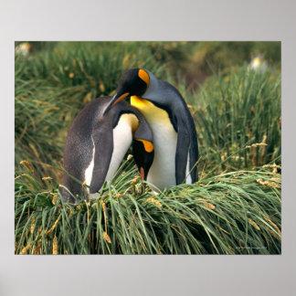 King penguins nuzzling poster