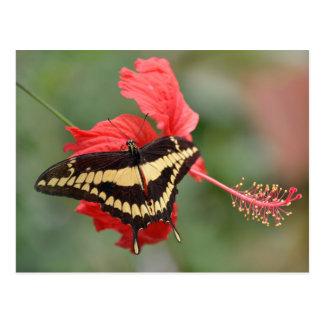 King Swallowtail butterfly on flower Postcard
