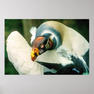 King Vulture Bird Poster