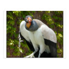 king vulture postcard