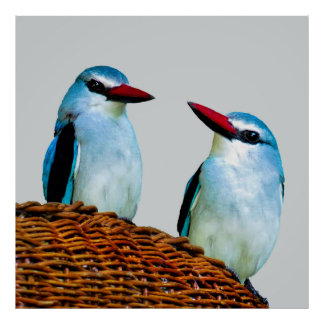 Kingfisher Birds South Africa Poster