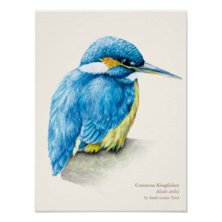 Kingfisher Ornithology portrait fine art print