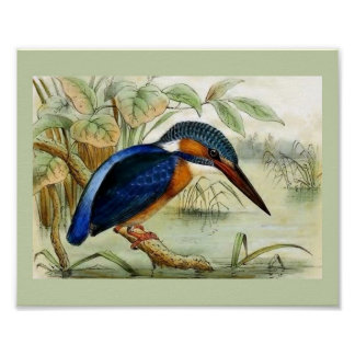 Kingfisher Vintage Bird Illustration Poster