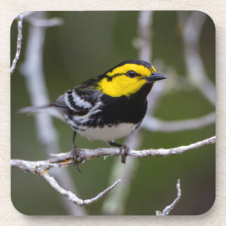Kinney County, Texas. Golden-cheeked Warbler Drink Coaster