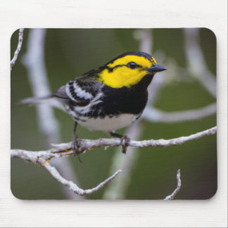 Kinney County, Texas. Golden-cheeked Warbler Mouse Pad