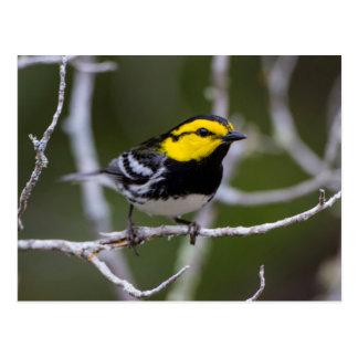 Kinney County, Texas. Golden-cheeked Warbler Postcard