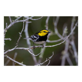 Kinney County, Texas. Golden-cheeked Warbler Poster
