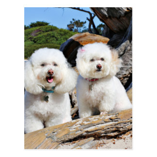 Kirby Shelby - Poodles on Carmel Beach Postcard
