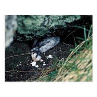 Kiska Island Sirius Point, Auklet killed by rat Postcard