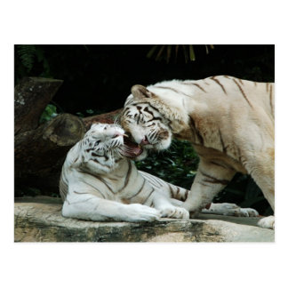 Kiss love and joy White Bengal Tigers Postcard