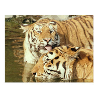 Kiss love and peace Licking tigers Postcard