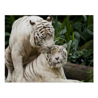 Kiss love peace and joy white tigers lovers postcard