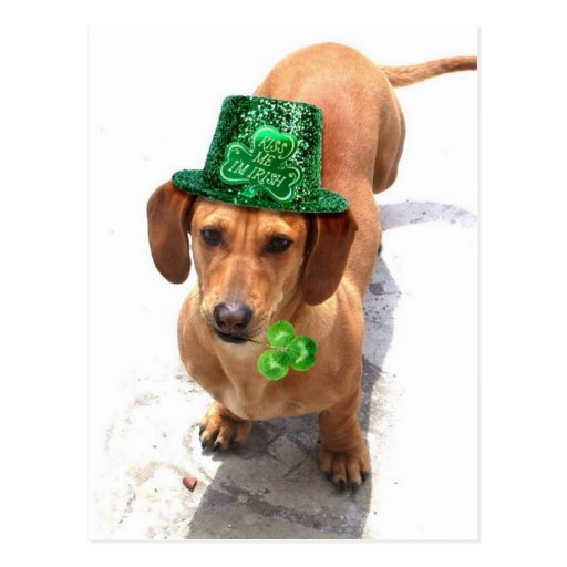Kiss me I'm Irish Dachshund postcard