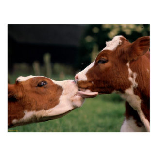 Kissing Cows Post Cards