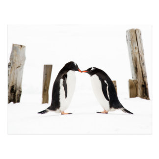 Kissing Gentoo Penguins Postcard