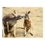 Kissing Kangaroos Postcard
