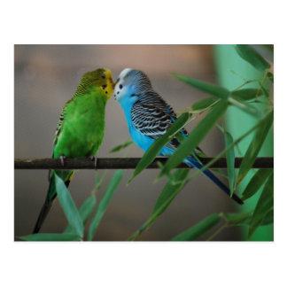 kissing parakeets postcard