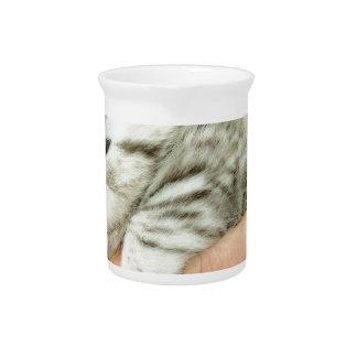 Kitten british shorthair silver tabby on hand pitcher