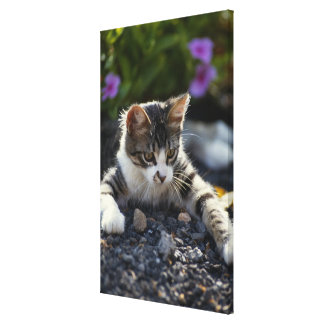 Kitten close-up stretched canvas print