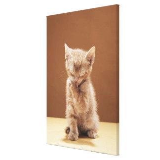 Kitten grooming canvas print