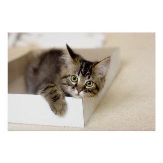 Kitten in a Box print