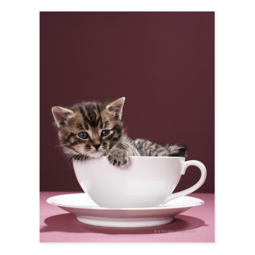 Kitten in cup and saucer postcard