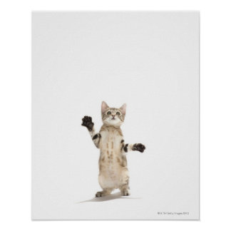Kitten on white background posters