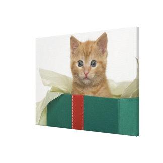 Kitten peeking out of gift box canvas print