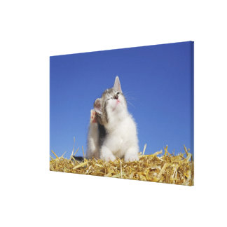 Kitten sitting on straw, scratching, close-up canvas print