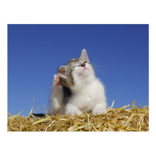 Kitten sitting on straw, scratching, close-up postcard