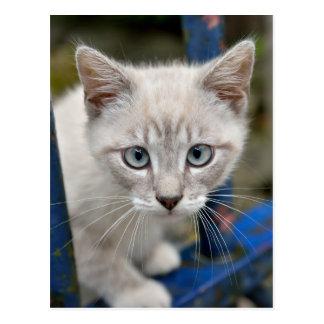 kitten with blue eyes postcard